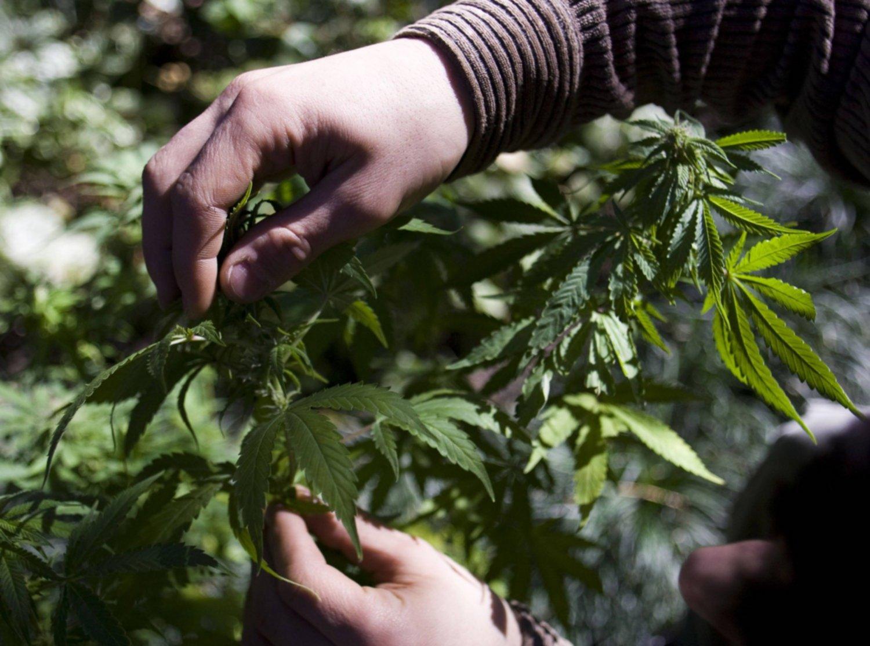 Когда собирать дикую коноплю посадили за выращивание конопли